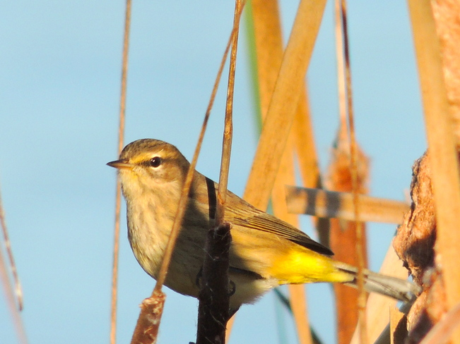 Palm Warbler Port Perry, Ontario Canada