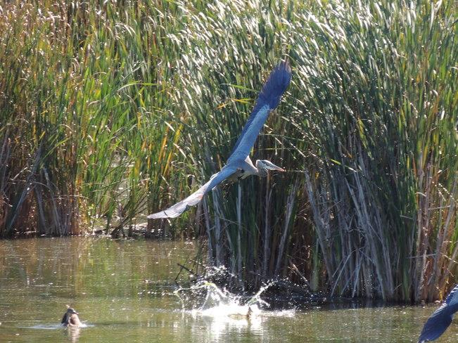 Heron flight Aurora, Ontario Canada