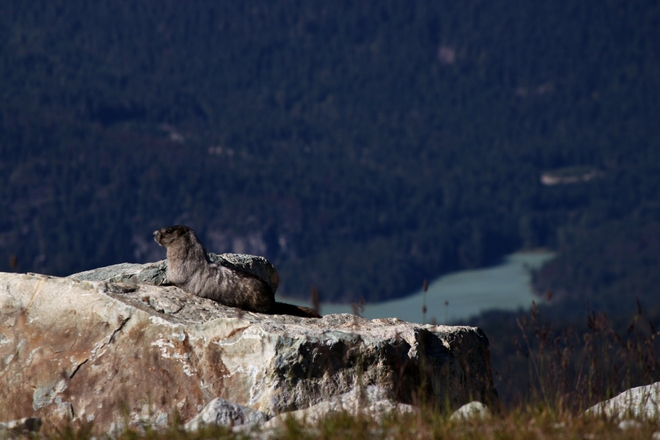 Lazy Marmot Whistler, British Columbia Canada