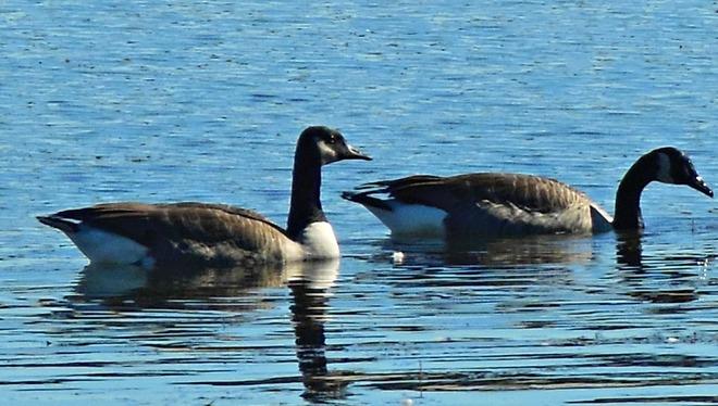 Geese Belleville, Ontario Canada