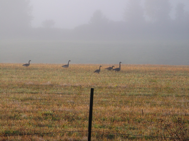 Geese On A Foggy Morning Massey, Ontario Canada