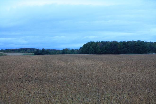 Soy field Clifford, Ontario Canada
