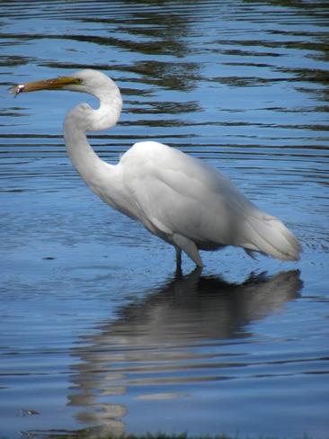 The Great White Heron Ottawa, Ontario Canada