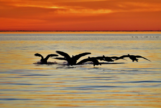 Geese arriving for an evening's rest. North Bay, Ontario Canada