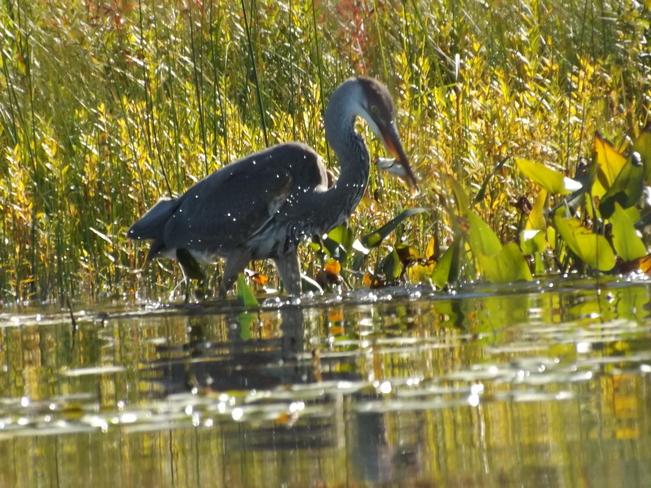 Blue Heron Pembroke, Ontario Canada