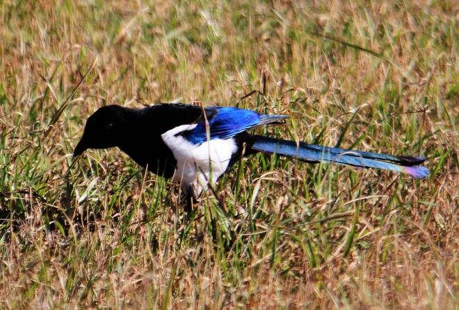 magpies Brooks, Alberta Canada