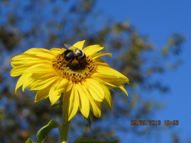 bee on my sunflower Eastern Passage, Nova Scotia Canada