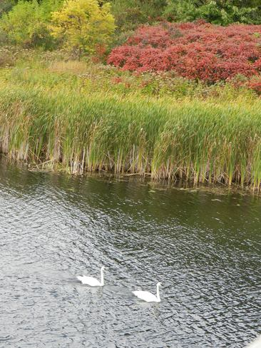 Two Swans A Swimming Midland, Ontario Canada