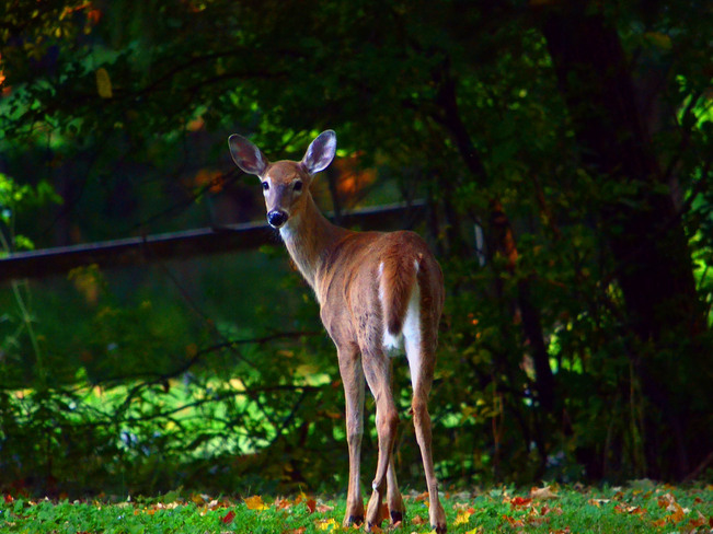 Fawn in the Woods Scarborough, Ontario Canada