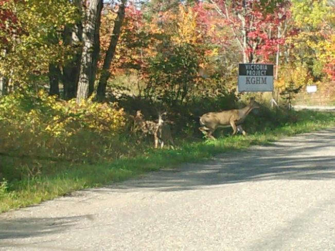 deer family crossing Sudbury, Ontario Canada