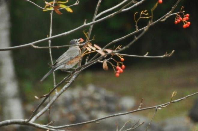 Robin eating the last of the berries Erin, Ontario Canada