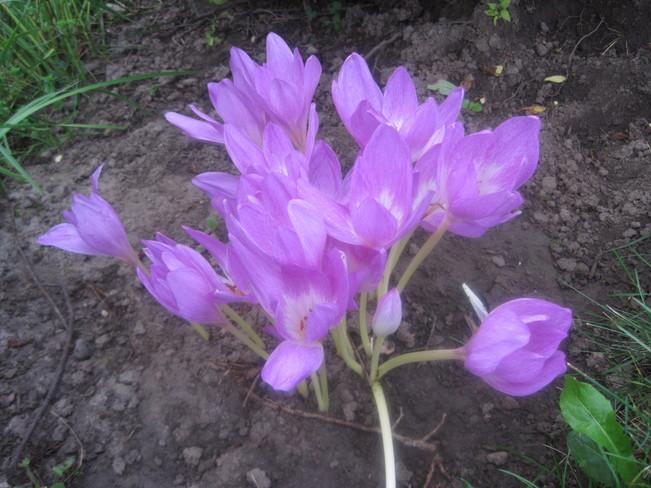 """""""Naked Lady"""" Flowers New Hamburg, Ontario Canada"""