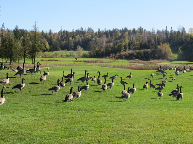 Geese and golf course Timmins, Ontario Canada