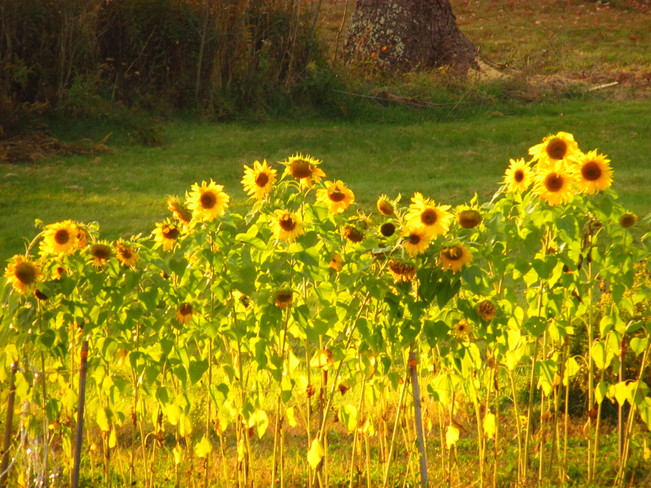 Sunflowers in Robbinston, Maine
