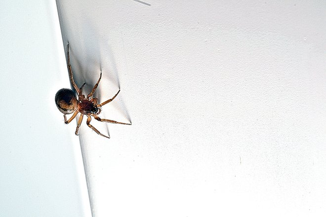 Baby Orb Weaver Spider Goderich, Ontario Canada