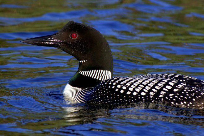 Loon Kamloops, British Columbia Canada