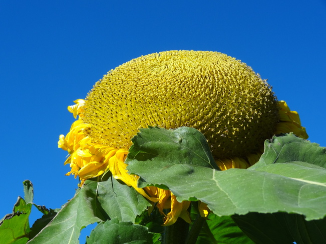 Sunflower Bathurst, New Brunswick Canada