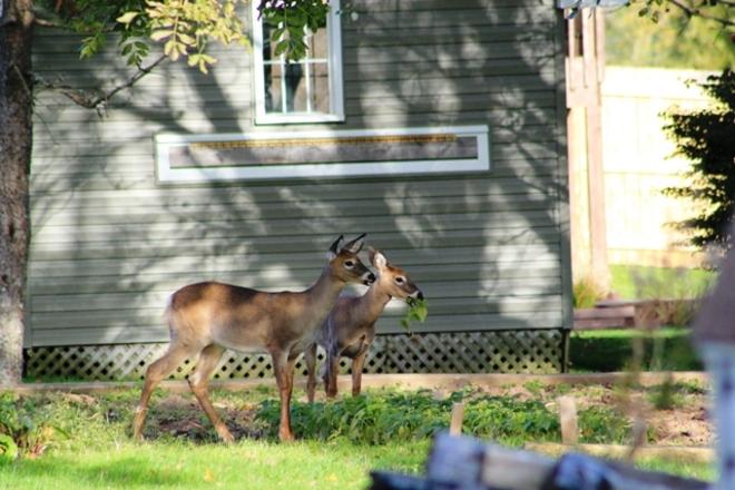 Deers Dartmouth, Nova Scotia Canada