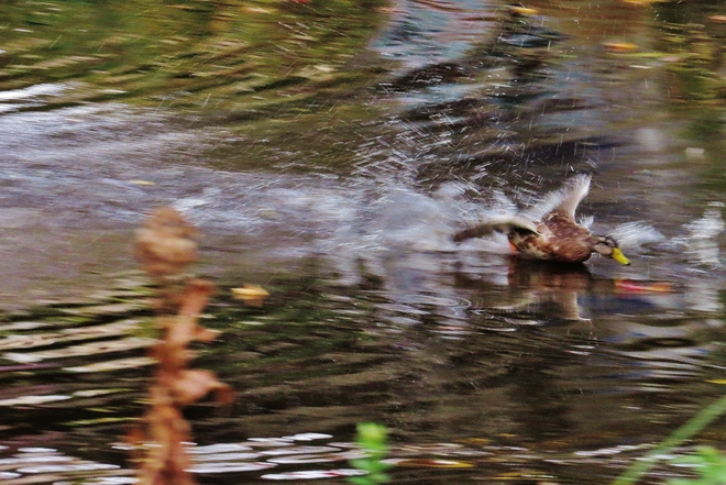 Juvenile Mallard breaks away from fight! North Bay, Ontario Canada