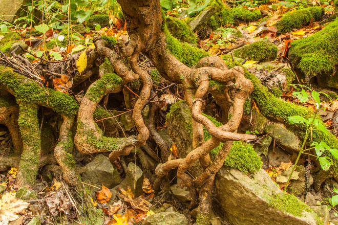 Gnarly Moss-Covered Tree Roots Pelham, Ontario Canada
