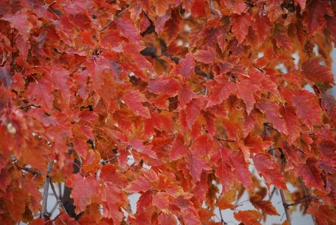 Red Leaves Brandon, Manitoba Canada