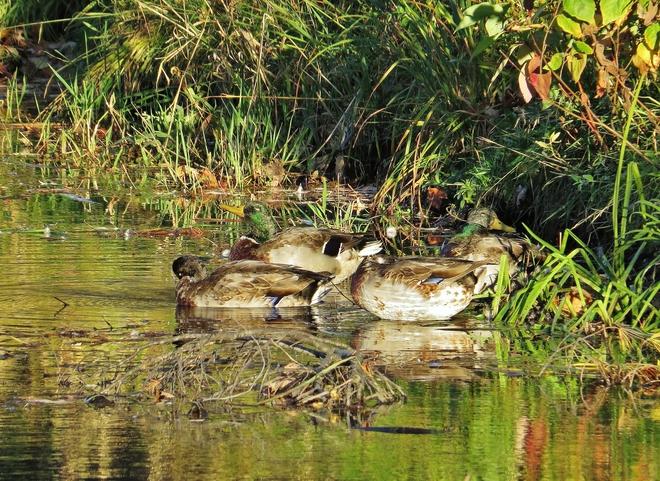 Ducks soaking up the sun at nap time. North Bay, Ontario Canada