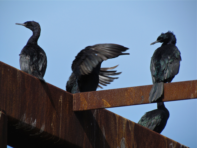 Cormorants, Hornby Abbotsford, British Columbia Canada