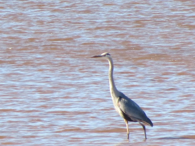 Blue Heron Hope Town, Quebec Canada
