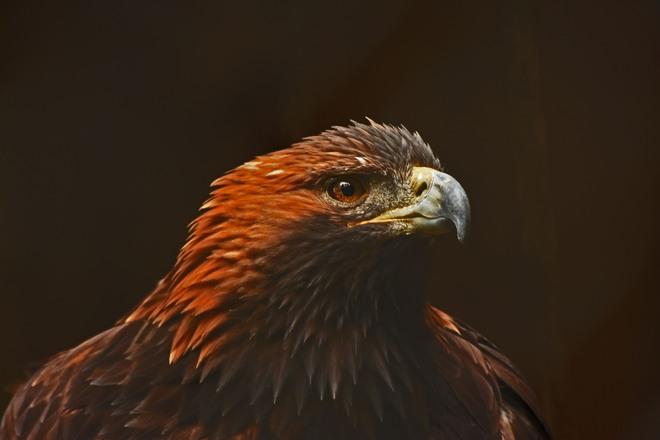 Golden Eagle Campbellville, Ontario Canada