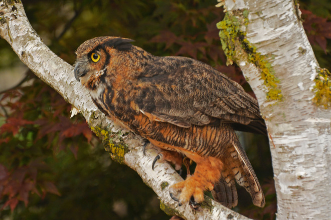 Great Horned Owl Campbellville, Ontario Canada
