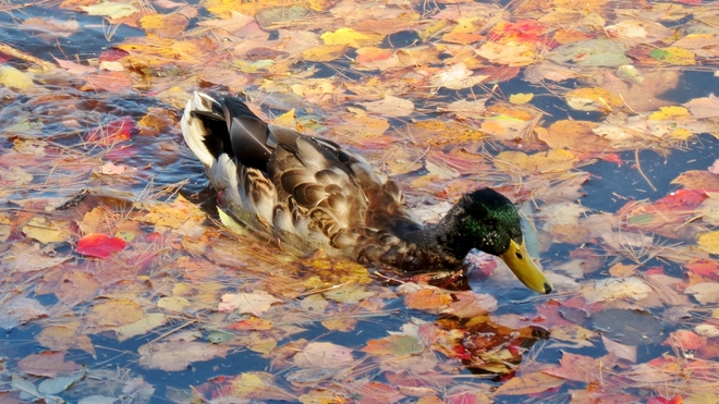 Swimming Among the Leaves Moncton, New Brunswick Canada