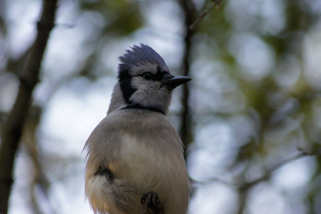 Blue Jay on the lookout. Ajax, Ontario Canada