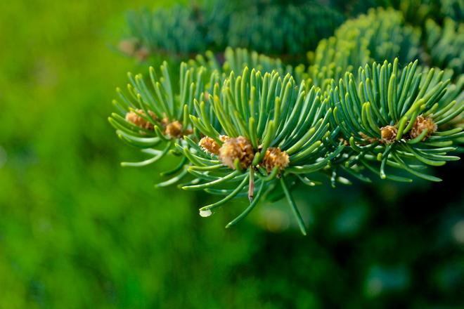 pine Winnipeg, Manitoba Canada