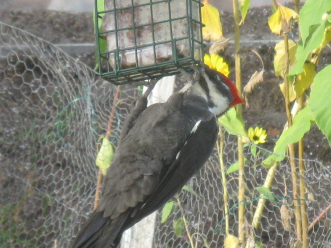 pileated woodpecker Chapleau, Ontario Canada