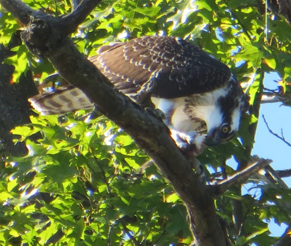 Osprey eating fish Grand Bend, Ontario Canada