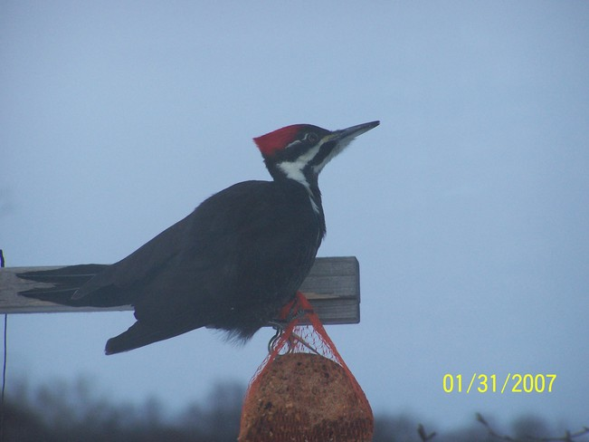 Pileated Wood Pecker Parry Sound, Ontario Canada