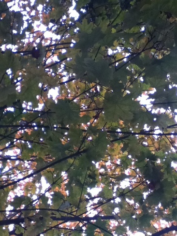Lovely Leaves Turning Colours Salmon Arm, British Columbia Canada