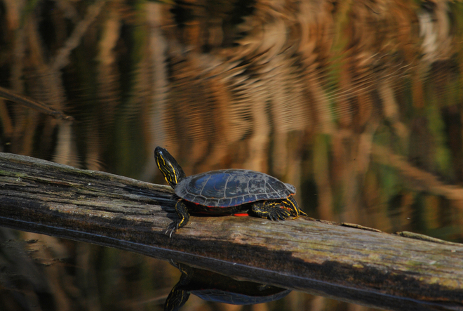 Painted Turtle South Kelowna, British Columbia Canada