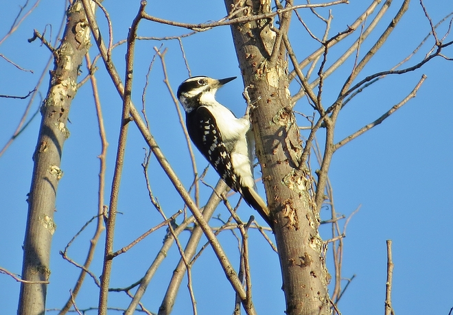 Female Hairy Woodpecker came a knockin.. North Bay, Ontario Canada