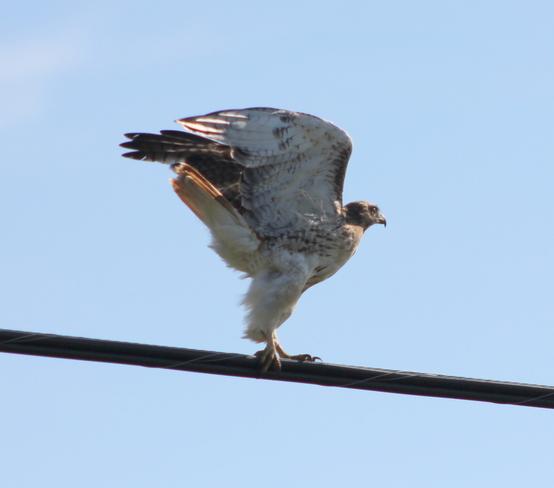 Preparing for take off (hawk) Brockville, Ontario Canada