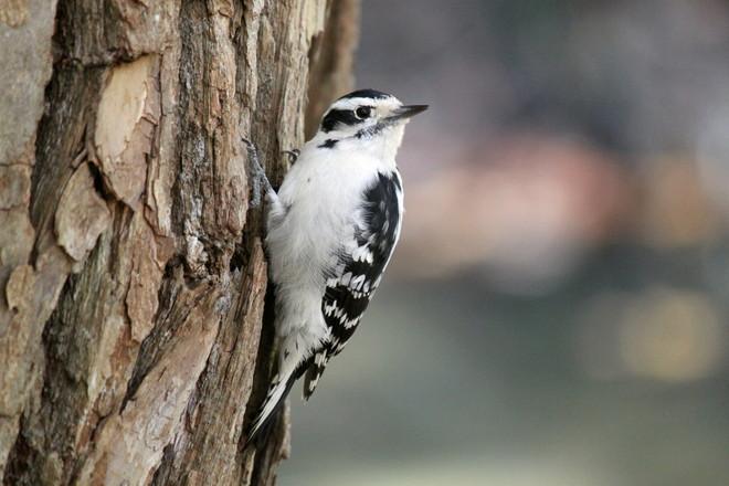 Woodpecker Toronto, Ontario Canada