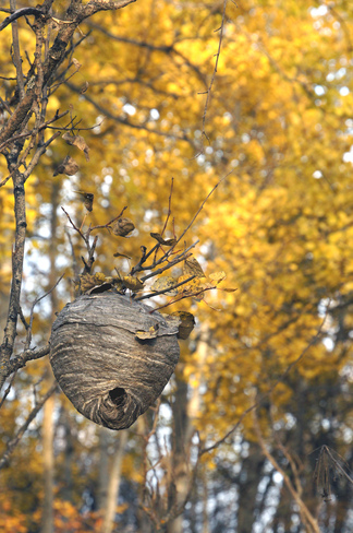 Wasp Nest Olds, Alberta Canada