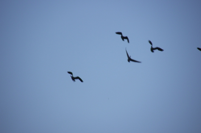 Canada geese on the way to feed Edgerton, Alberta Canada