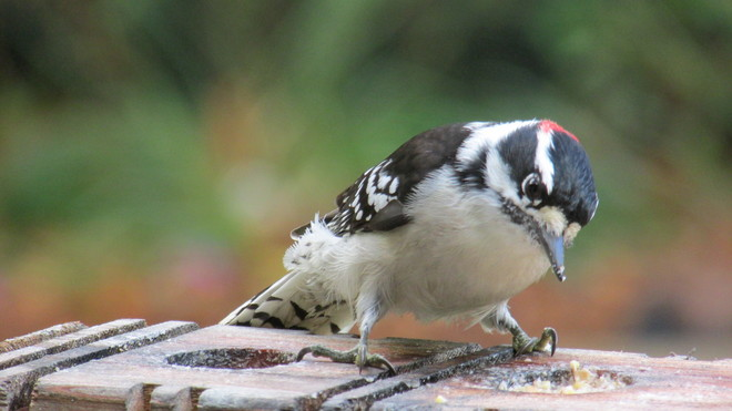 Downy Woodpecker Saint-Lazare, Quebec Canada