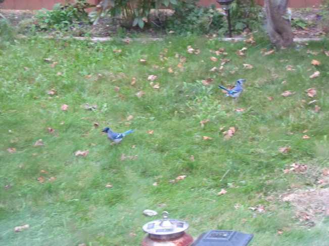 Two jays having lunch