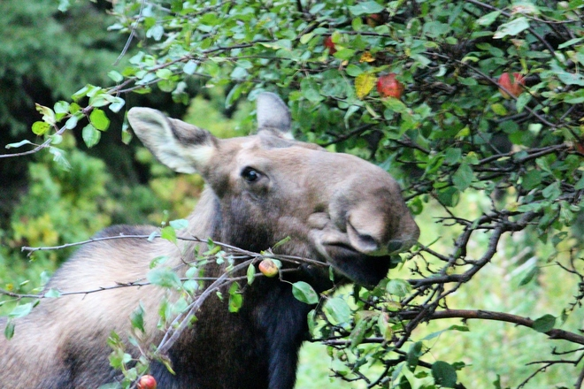Moose in my backyard Logy Bay-Middle Cove-Outer Cove, Newfoundland and Labrador Canada