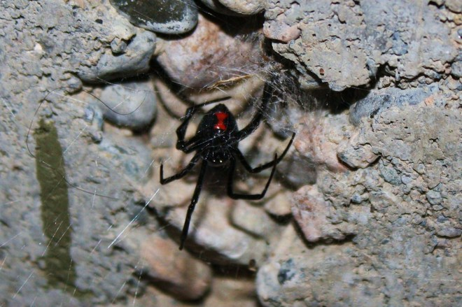 Female Black Widow Osoyoos, British Columbia Canada