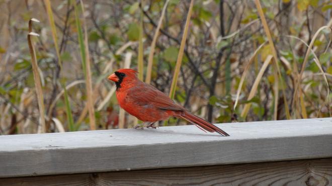 Cardinal Cambridge, Ontario Canada
