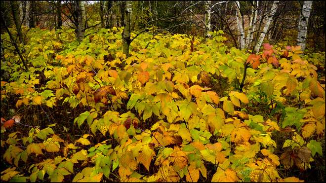 Along Pearson, after the rain, yellow leaves. Elliot Lake, Ontario Canada
