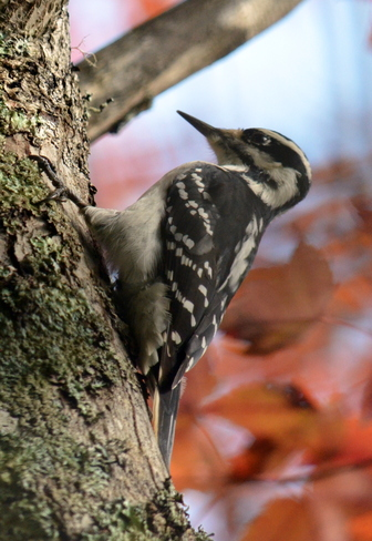 Woodpecker Kingston, Nova Scotia Canada